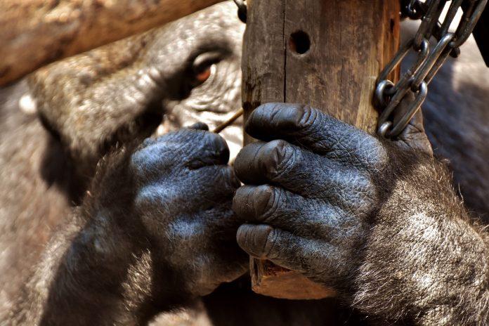 diritti animali grandi scimmie