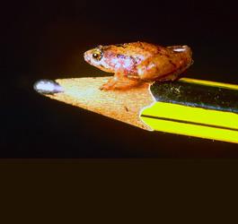 La mini rana che nasce in un bicchier d'acqua