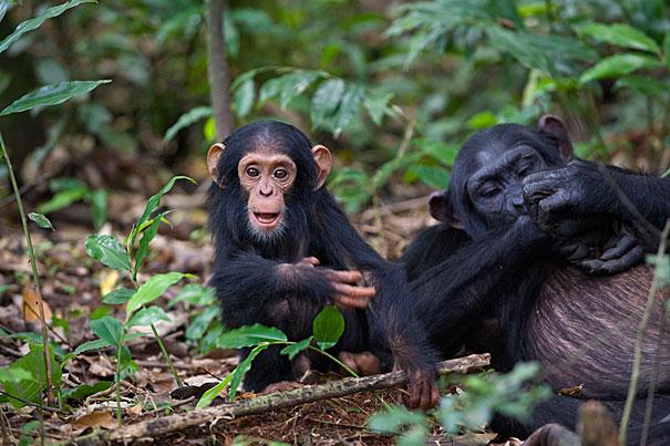Scimpanzé che giocano a fare le mamme