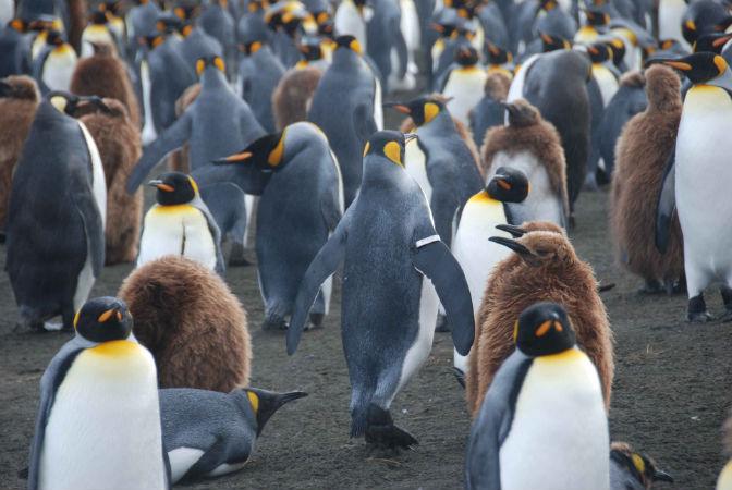 Il tag nuoce al pinguino e alla ricerca