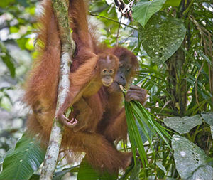 La lenta evoluzione degli oranghi