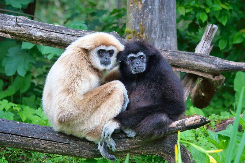 Anche i gibboni hanno i dialetti
