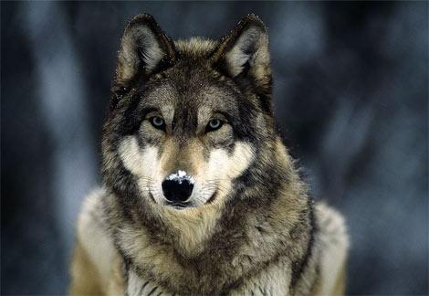 L'arte del lupo di leggere negli occhi