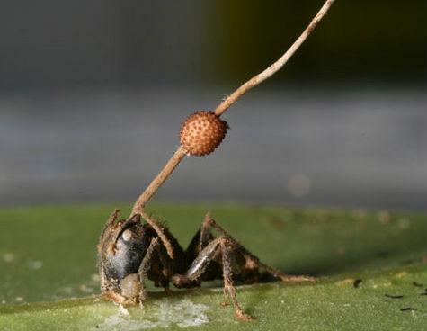 Formiche zombie per colpa di un fungo