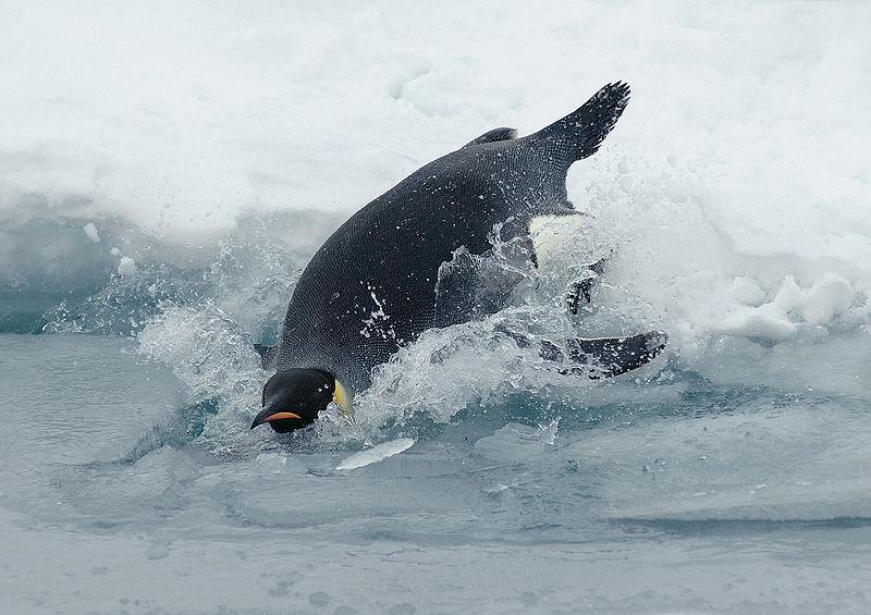 Immersione in apnea, la strategia del pinguino