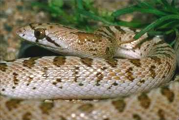 Morso di serpente: appiccicoso e letale