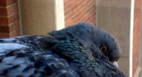 I piccioni ci guardano in faccia