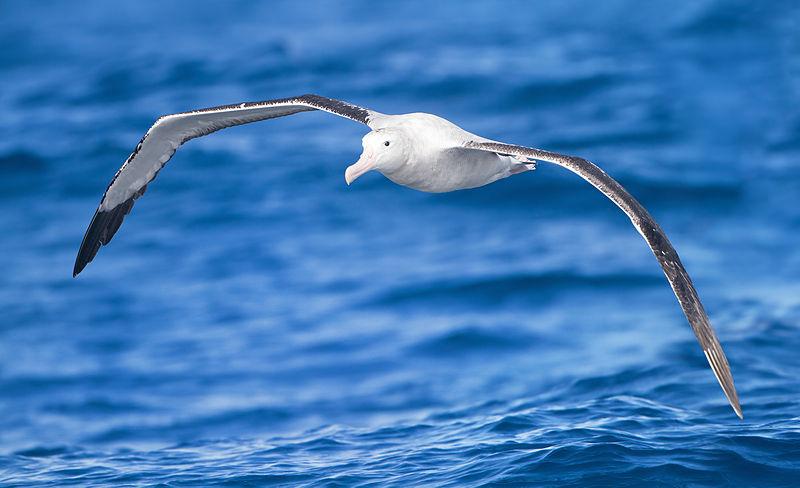Il segreto del volo degli albatri