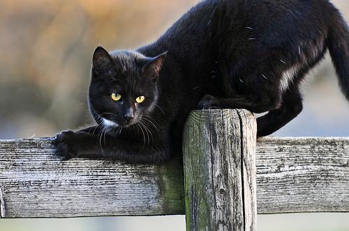 Halloween Perché I Gatti Neri Fanno Paura Galileo