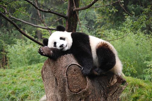 Il panda ha origini spagnole