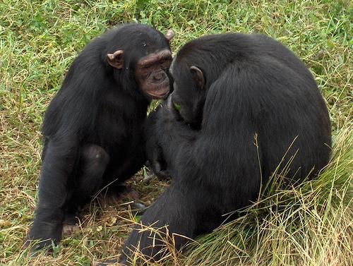 Anche le scimmie hanno il senso della giustizia