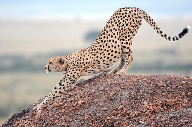 Tutte le manovre del ghepardo