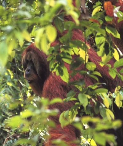 Anche gli oranghi pianificano i viaggi