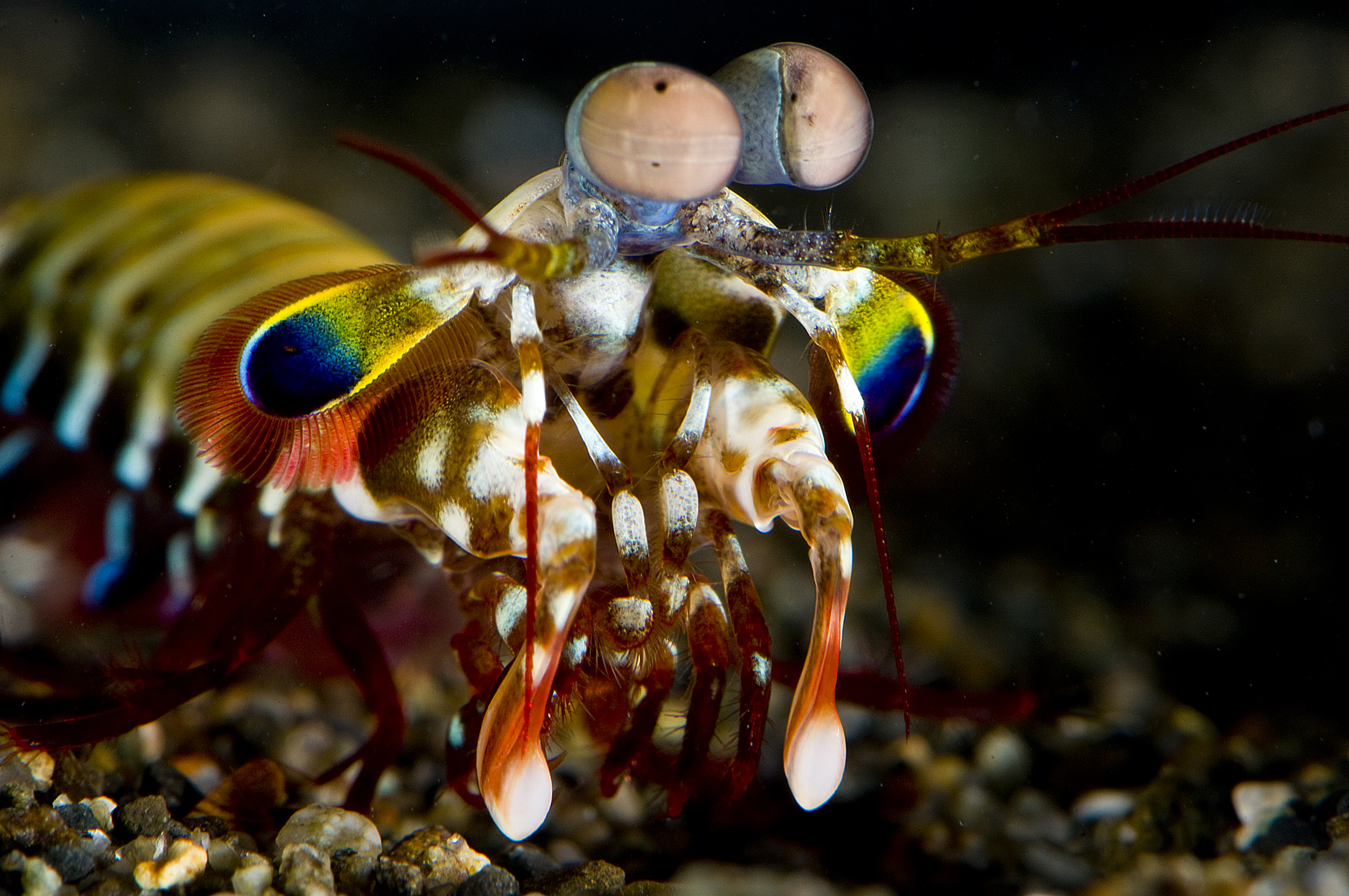 Così i crostacei vedono i colori