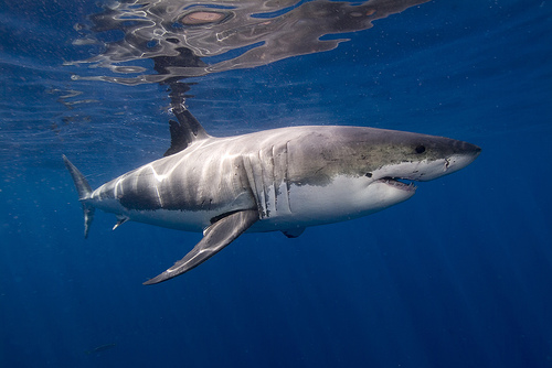 Ecco perché gli squali sono efficienti nuotatori