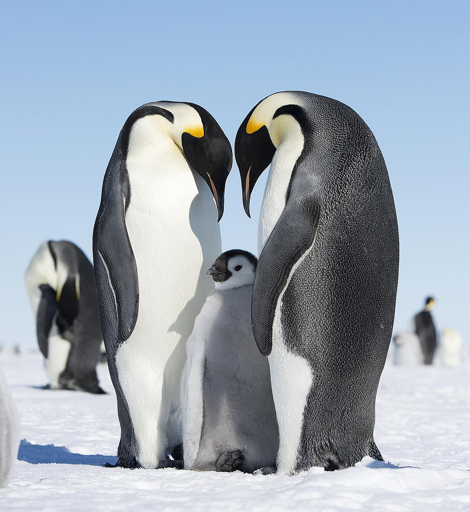 Risultati immagini per pinguini imperatori