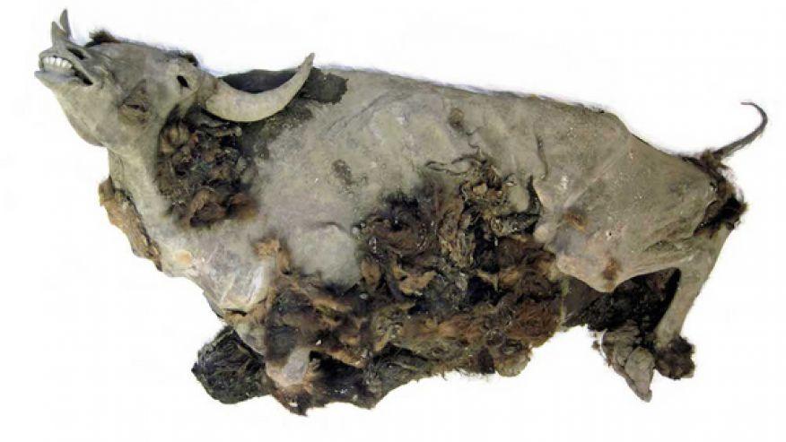 Tra i ghiacci un bisonte di 10 mila anni