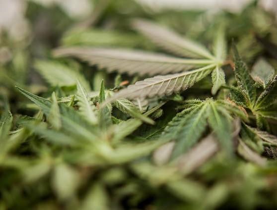 Marijuana: meno dannosa di alcool e tabacco - Galileo