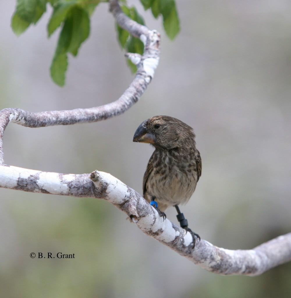 Il gene che spiega la variazione dei fringuelli di Darwin