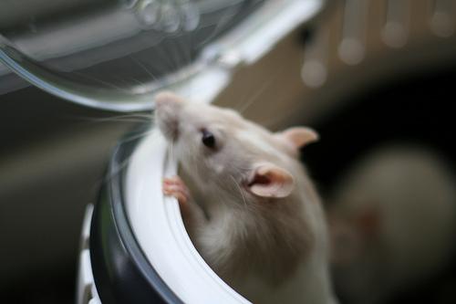 Sperimentazione animale e metodi alternativi: a che punto siamo?
