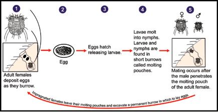 l ciclo della scabbia  (Credits immagine: Wikimedia Commons - Laboratory Identification of Parasites of Public Health Concern)