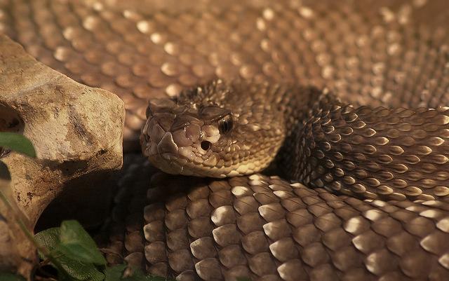 Serpenti un antidoto sta finendo galileo for Veleno per serpenti