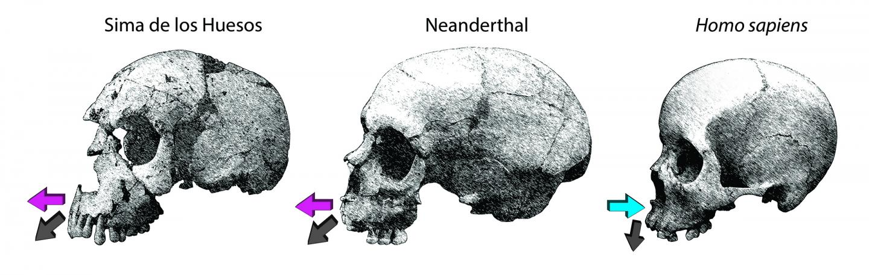 Homo neanderthalensis e sapiens; ecco perché una faccia diversa - Galileo