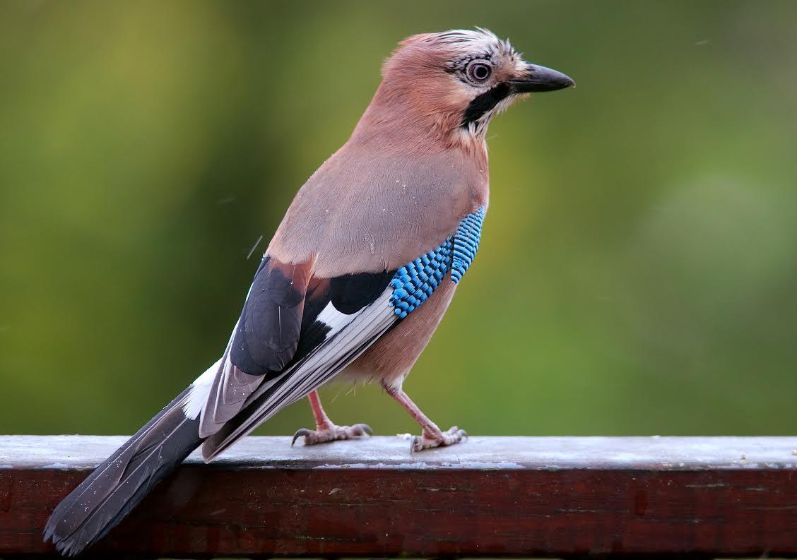 Perch gli uccelli non diventano brizzolati galileo - Semplici disegni di uccelli ...