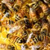 Le api imparano per imitazione