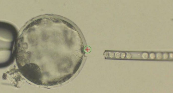 embrioni