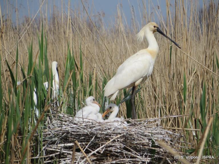 Spatole nel nido