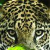 Panthera, ecco il ritratto di famiglia