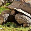 Tartarughe: quanto conta la forma del guscio per tornare in piedi?