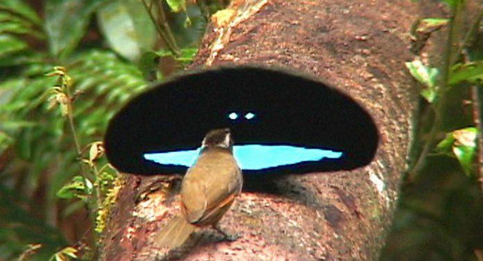 uccello paradiso