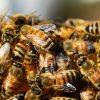 Neonicotinoidi: confermati dall'Efsa i rischi per le api