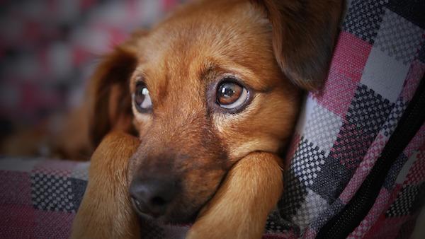 cani emozioni padrone umano