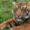 Giornata mondiale della tigre: il video di mamma Rima con i suoi cuccioli