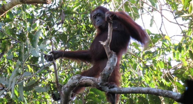 oranghi a rischio
