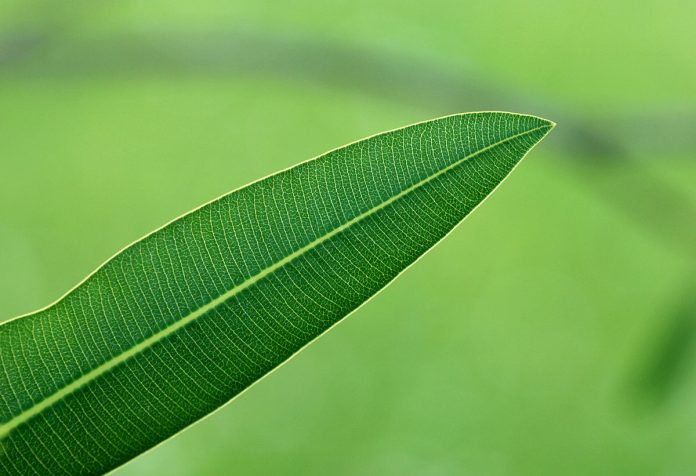oleandro energia foglie vento