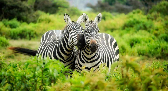 strisce delle zebre