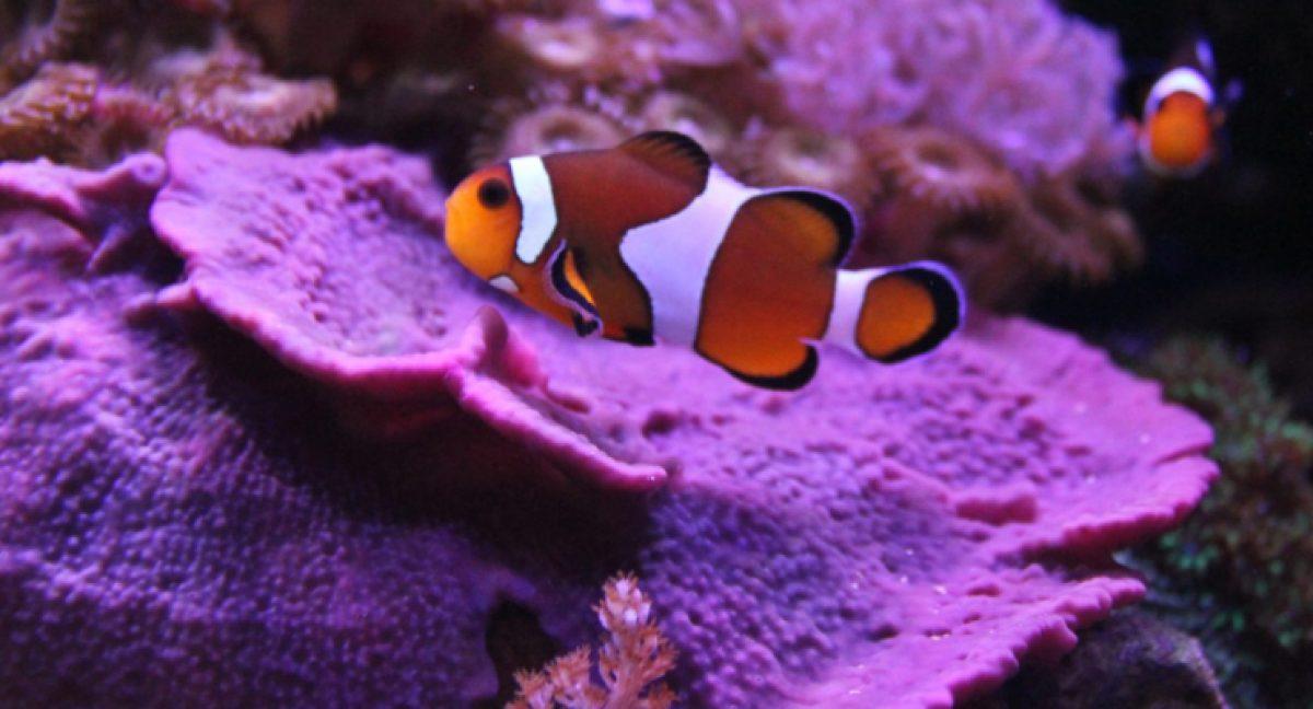 Dove Vive Il Pesce Pagliaccio.Pesce Pagliaccio Ecco Perche Nemo Vive Fino A Vent Anni Galileo