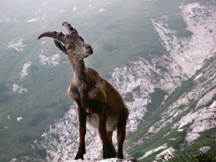 stambecco alpino paradiso