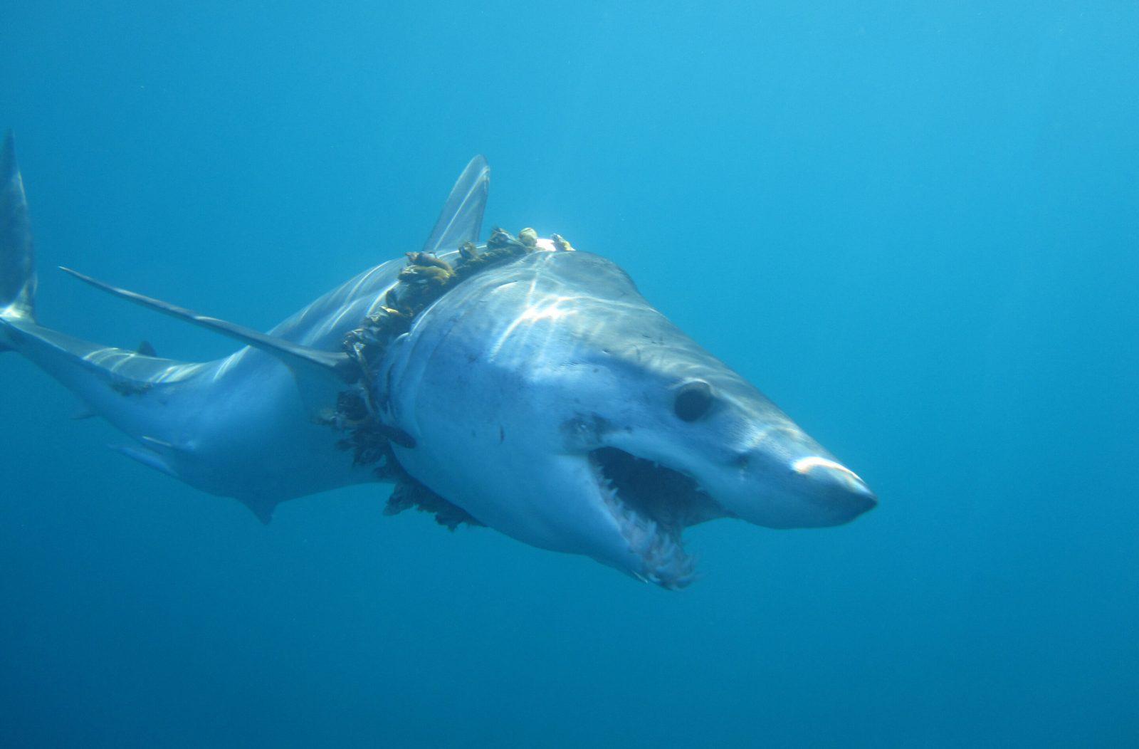 squalo makò stritolato