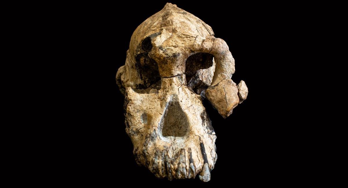 Cranio anamensis