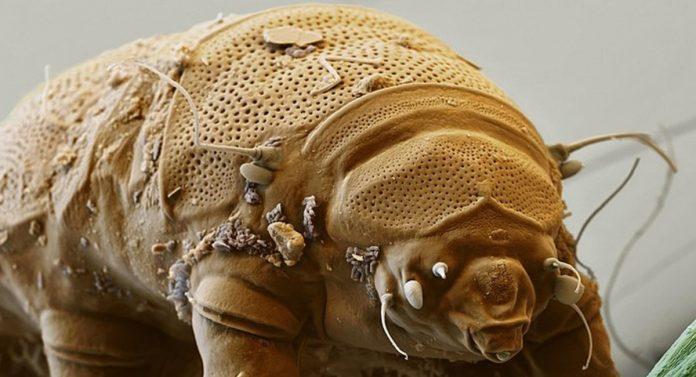 tardigradi