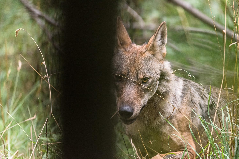 Sempre più diffuso in Italia, il lupo è spesso percepito come una minaccia per l'essere umano. Ma per gli scienziati una convivenza pacifica è possibile. Ma servono conoscenza e buone pratiche