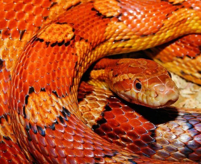 Serpente di Cape Coral