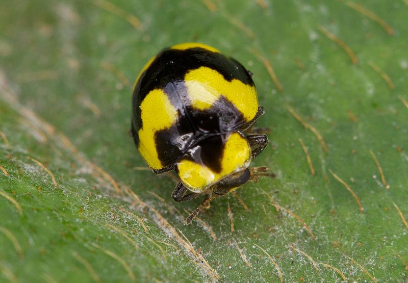 coccinella Illeis galbula colorata tossica