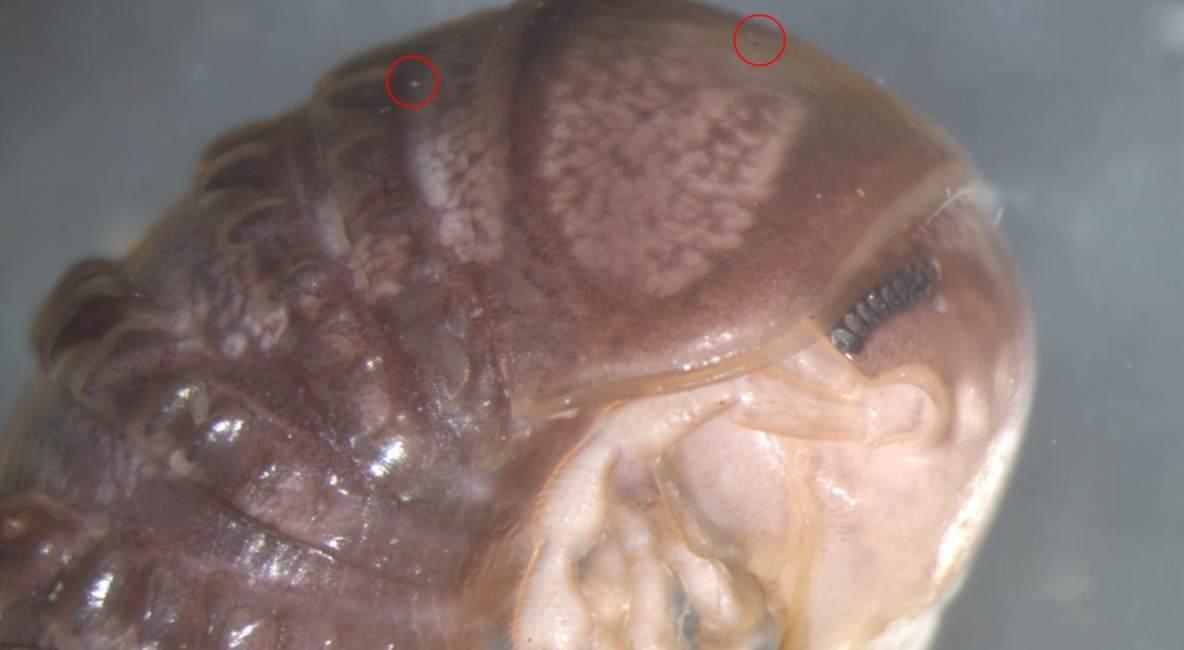 fungo parassita twitter scoperto specie