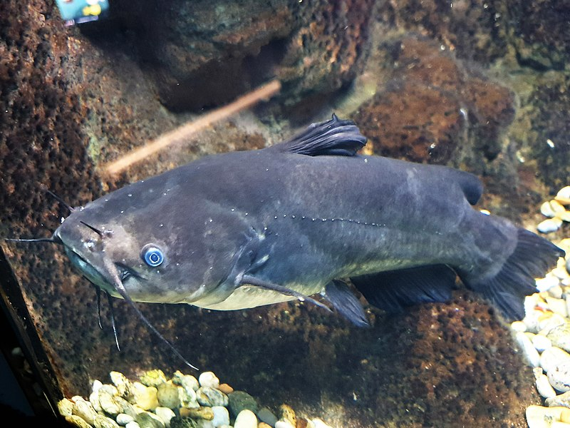 specie aliene, specie invasive pesce gatto nero